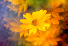 Yellow Daisies Photographed Through Prism