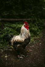 Black And White Rooster On Yard