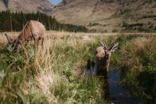 Alert Deer Grazing And Drinkin...