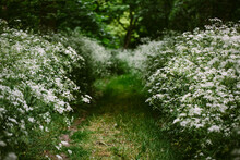 A Grass Path Lined With Cow Parsley.