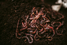Thin Red Earthworms Moving In ...