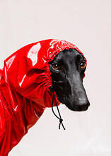 A Greyhound Dressed With A Red...