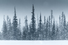Snowstorm In A Winter Forest
