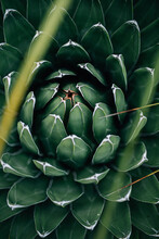 Green Plant: Maguey Noa.