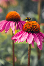 Bumble Bee On Pink Flowers