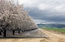 Almond Orchard In Bloom, Winter, San Joaquin Valley, CA