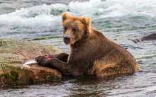 Happy Brown Bear Eating A Wild...