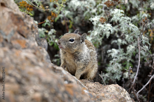 Grauhörnchen auf Fels