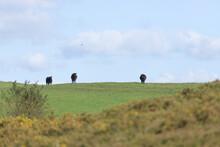 Three Black Cows On The Horizo...