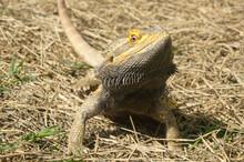 Bearded Dragon Lizard On The G...
