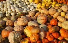 Pumpkins In Piles In The Farm ...