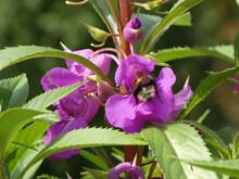 Closeup Shot Of A Bee Head Under A Violet Flower Petal Collecting Pollen