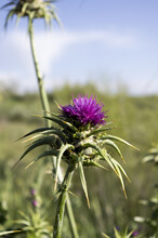 Vertical Shot Of Purple Milk Thistle On The Field