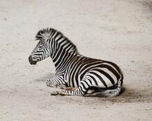 Closeup Shot Of A Young Zebra ...