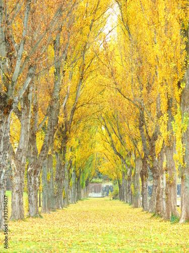 北海道の紅葉風景 秋の前田森林公園 ポプラ並木 © hiro cafe