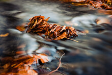 Dry Autumn Leaf Floating On The River