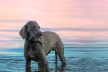 The Disgruntled Female Of The Weimaraner Breed Stands In The Water Early In The Morning. Beautiful Hunting Dog Walks In The Morning Haze