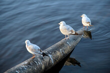 Ivory Gulls Sit On An Iron Pipe Among The Water