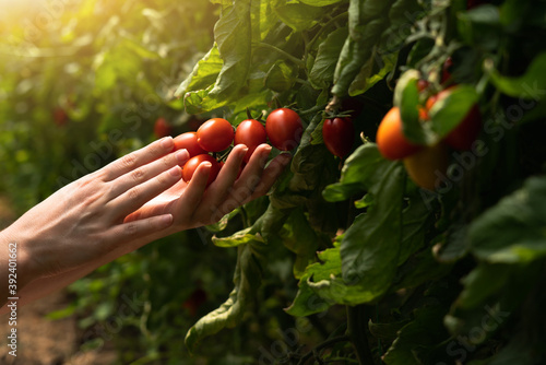 A woman farmer picks cherry tomatoes in a greenhouse Wallpaper Mural