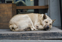 Beige Stray Dog Sleeping On Th...
