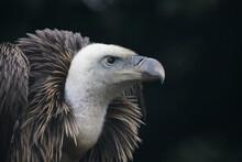 Portrait Of A Griffon Vulture, A Bird Of Prey