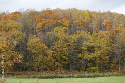 Fototapety, obrazy: 北海道の秋の山