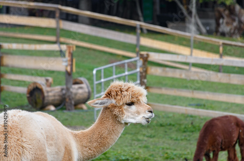 Fototapeta premium Selective focus shot of a brown llama in a field