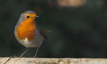 Closeup Shot Of A Cute Robin B...