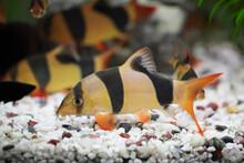 Colorful Clown Loach Fish - Bo...