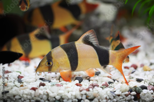 Fototapeta premium Colorful Clown Loach Fish - Botia macracanthus