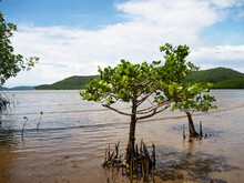 Mangrove Trees Planted Next To The Beach During The Day.