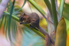 Cute Tropical Asian Palm Squir...