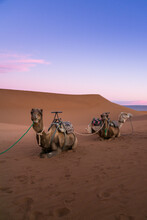 Pair Of Camels On The Desert D...