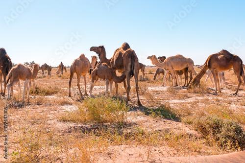 Herd of camels in El Gouera, at the gates of the Sahara Fotobehang