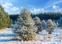 Balsam Fir At A Christmas Tree...