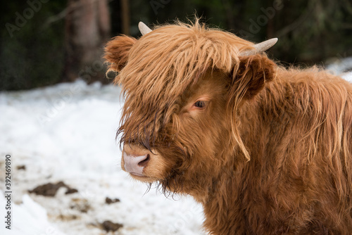 Fototapeta premium The Highland, a Scottish breed of rustic cattle