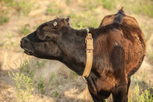 Portrait Of A Young Bull. Calf...