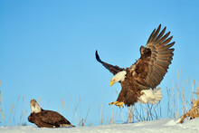 American Bald Eagle Lands On The Snow-covered Ground