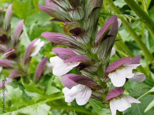 Gros plan sur épis d'acanthe à feuilles molles ou acanthus mollis à fleurs blanc Canvas-taulu