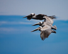 Three Pelicans In Flight Over ...