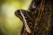 Giant Owl Butterfly In Costa Rica