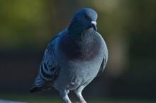 Wild Pigeon Posing