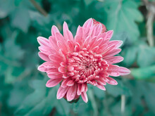 Pink Chrysanthemum With Raindrops Close-up Side View Of The Photo And Place For Text. A Symbol Of Freshness, Youth, Beauty And Youth.