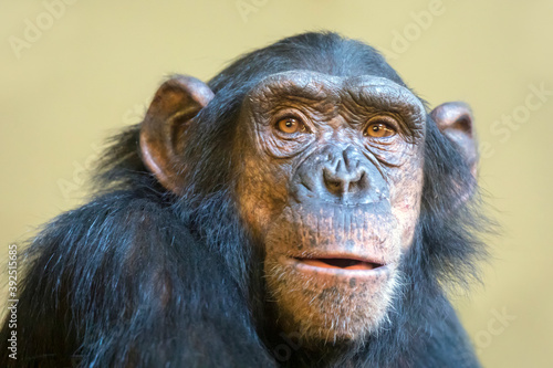 Vászonkép close up shot of chimpanzee head