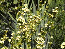 Yellow Flowers On Thick Long Stems