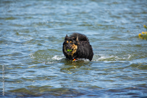 Big black dog running out of the waters of a canadian lake or river, with a tennis ball tightly held in his mouth Billede på lærred