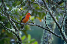 Flame-colored Tanager  - Piranga Bidentata Formerly Stripe-backed Tanager, American Songbird, Formerly Placed In The Tanager Family Thraupidae, Now Classified In The Cardinal Family Cardinalidae