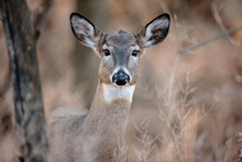 A Young Doe Looks Out From Behind The Cover Of The Tree, In The Late Afternoon In Mid-November Near Hartford, Wisconsin