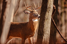 A White-tailed Buck, From Behind The Trees, Is Alert To Noises Not Far Ahead, As It Enjoys The Warmth Of The Morning Sunshine Near Hartford, Wisconsin In Autumn
