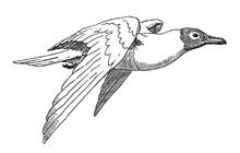 Flying Black-headed Gull, Chroicocephalus Ridibundus In Side View